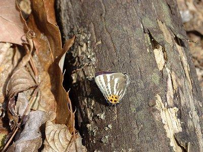 ホダギ作成中、蝶々が飛んできて、横になり休憩していました。