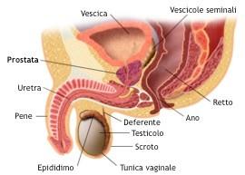 La prostata: situazione anatomica