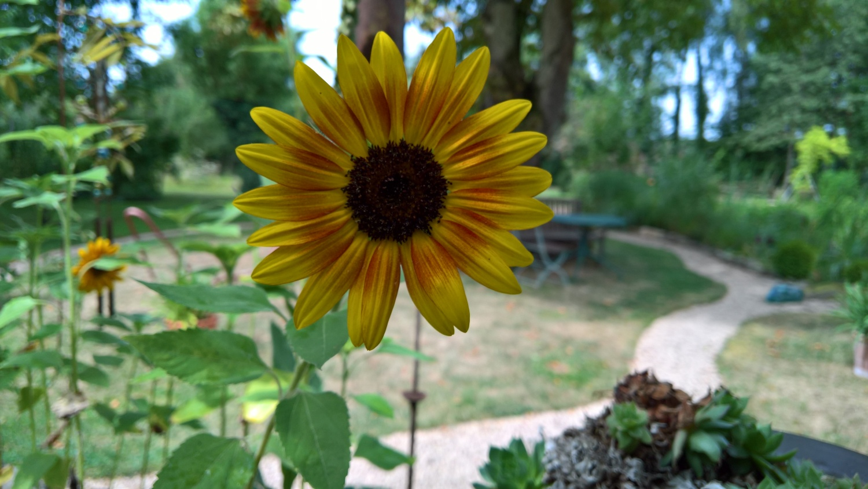 Eine der ganz kleinen süssen Sonnenblumen