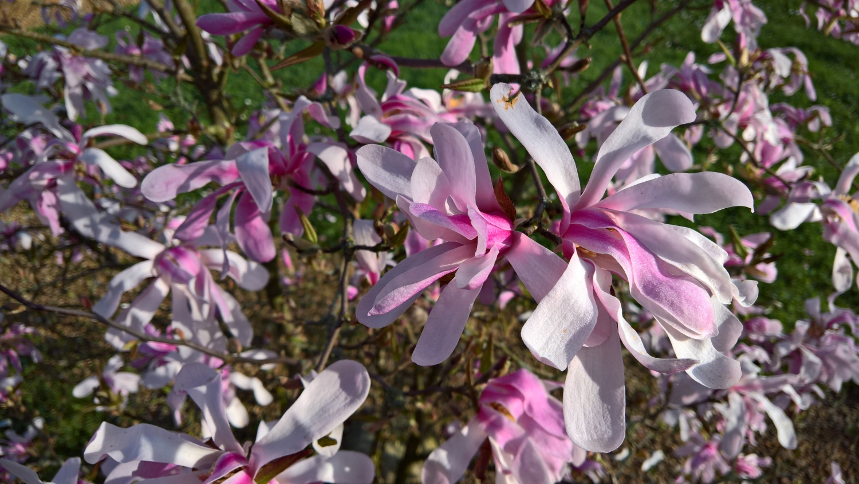 Das 100ste Bild der wundervollen Magnolie