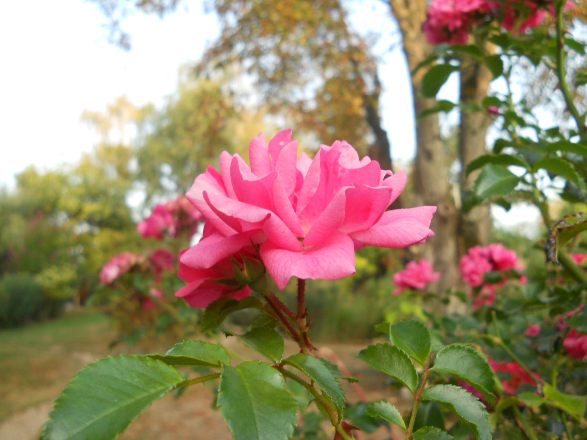 Das Rosen-Hochstämmchen blüht das ganze Jahr über