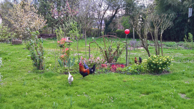 Die Hühner geniessen die neue Freiheit im Garten