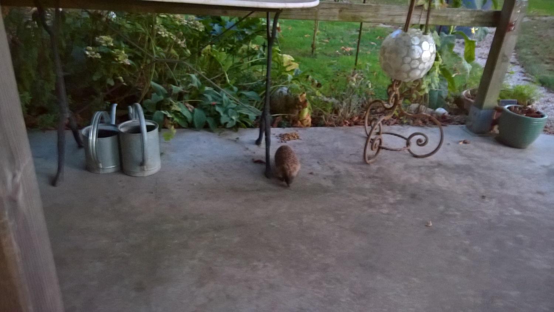 Ein Igel kommt zu Besuch