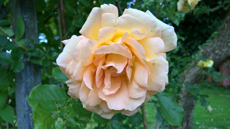 Die weisse vom Rosenbogen