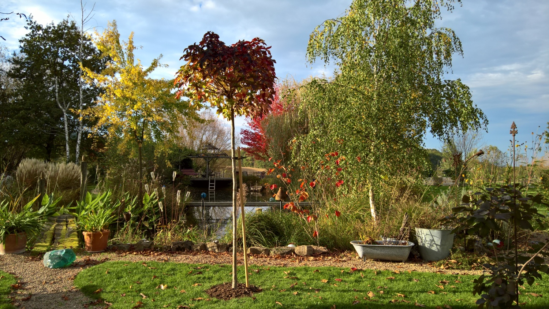 Eine Kugelamber verziert nun mit ihrem herrlichen Herbstlaub den Platz vor dem Teich