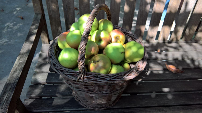 Apfelernte, in diesem Jahr schon Mitte August