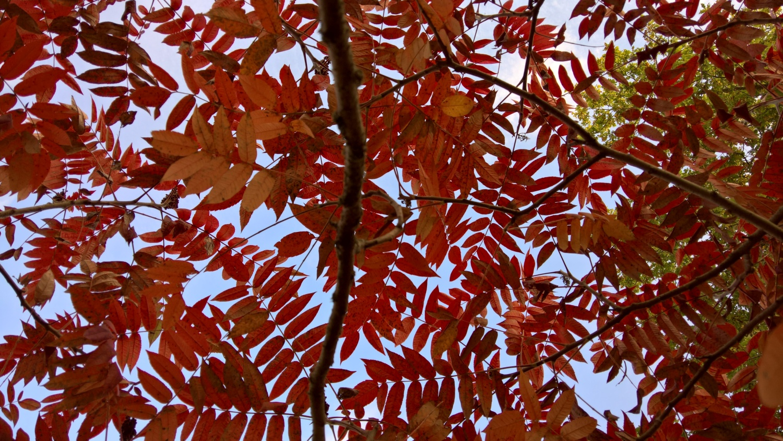 Der Essigbaum zeigt vielfältiges Rot zur gleichen Zeit