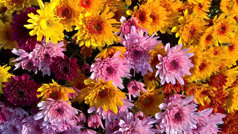 Ein Topf voller bunter Chrysanthemen