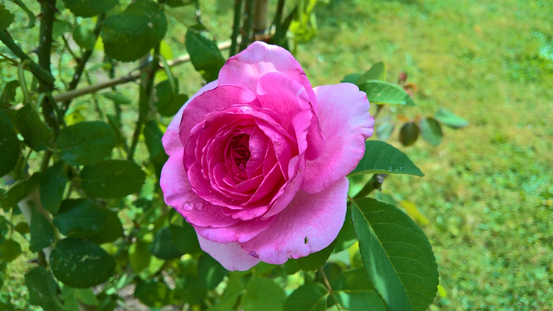 Die neue Rose von Barbara duftet extrem stark