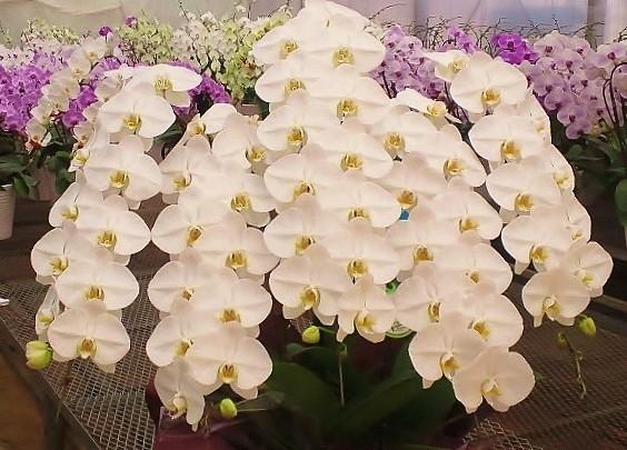 定番の胡蝶蘭のロイヤルシルク