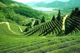 jardin de thé bio