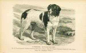 Dog Print 1897 Landseer Newfoundland Dog named PRINCE CHARLIE