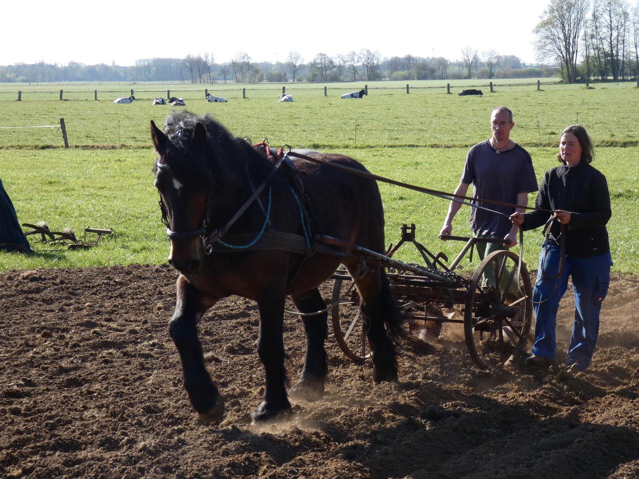 Katharina und Kristian Heimrath beim Kartoffelpflanzen mit Pferd Paul