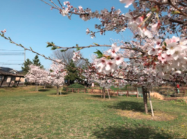 西部中央公園の桜は見ごろですね