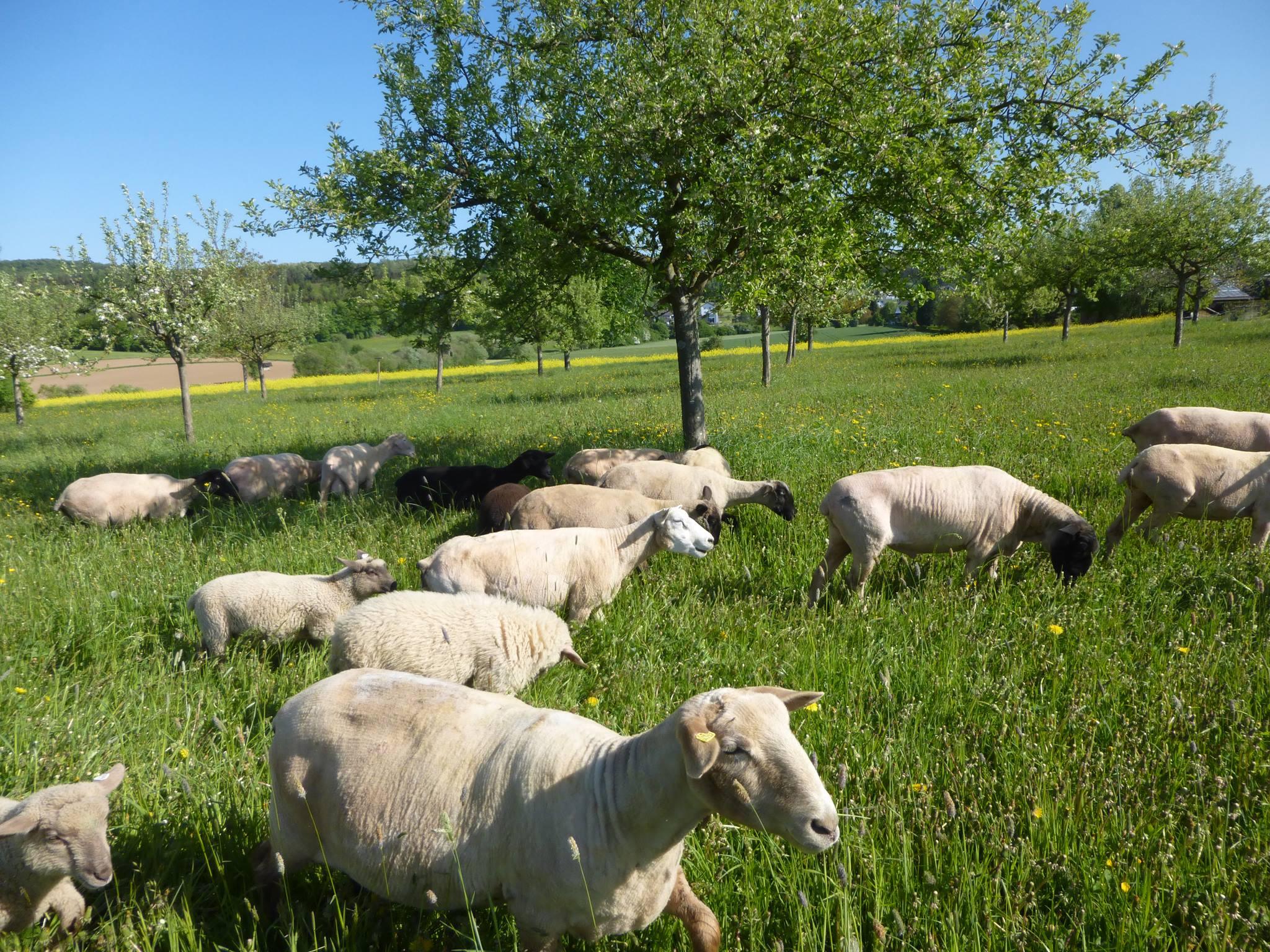 Auch Schafe gab es auf der benachbarten Wiese zu bestaunen