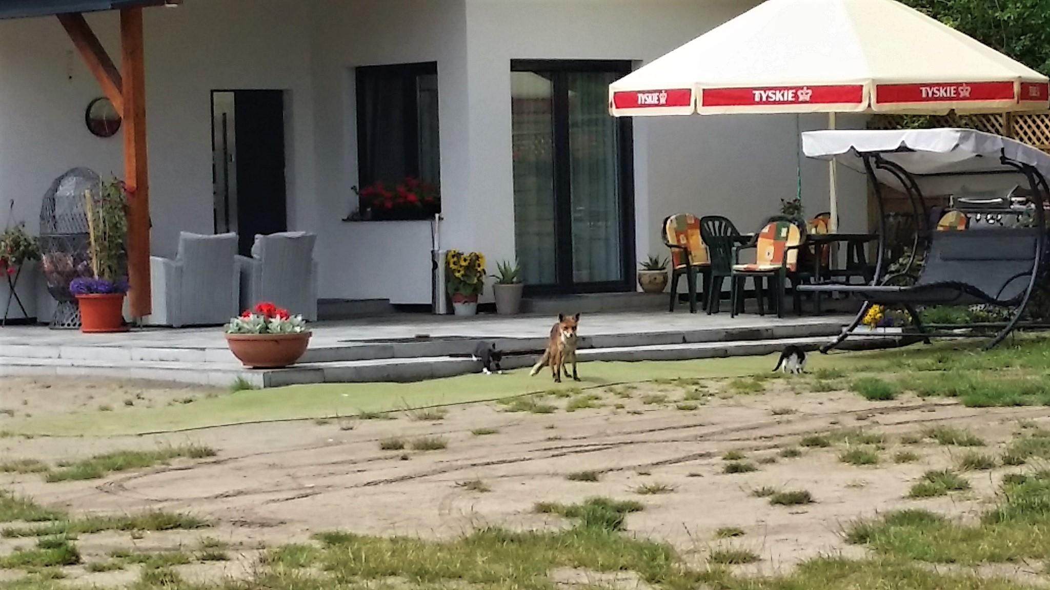 Fuchs und Katze spielen hier zusammen