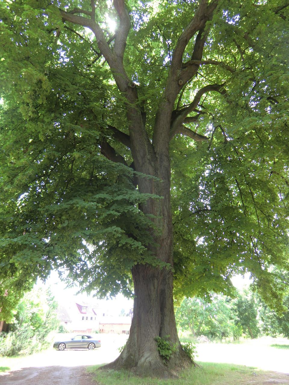 mächtige, alte Bäume