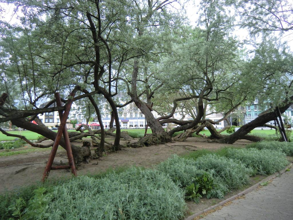 uriger Baum am Rheinufer