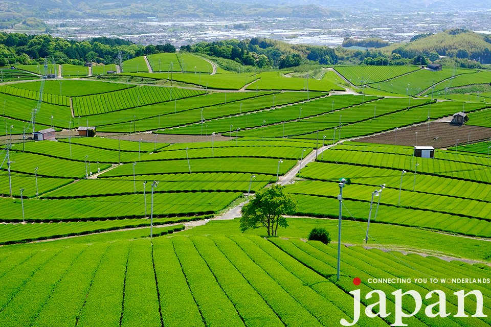 Yame Tea Fields (Fukuoka) ©Takashi Sato