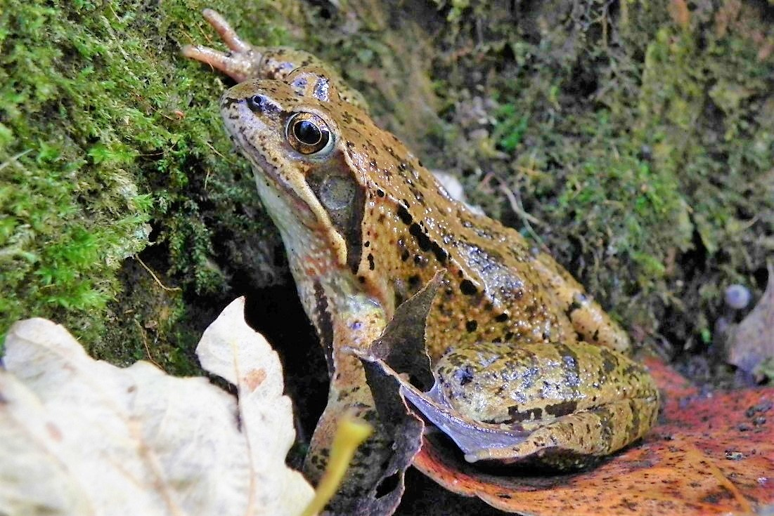 Die häufigste Amphibien-Art im Ried: Grasfrosch © F. Zeller