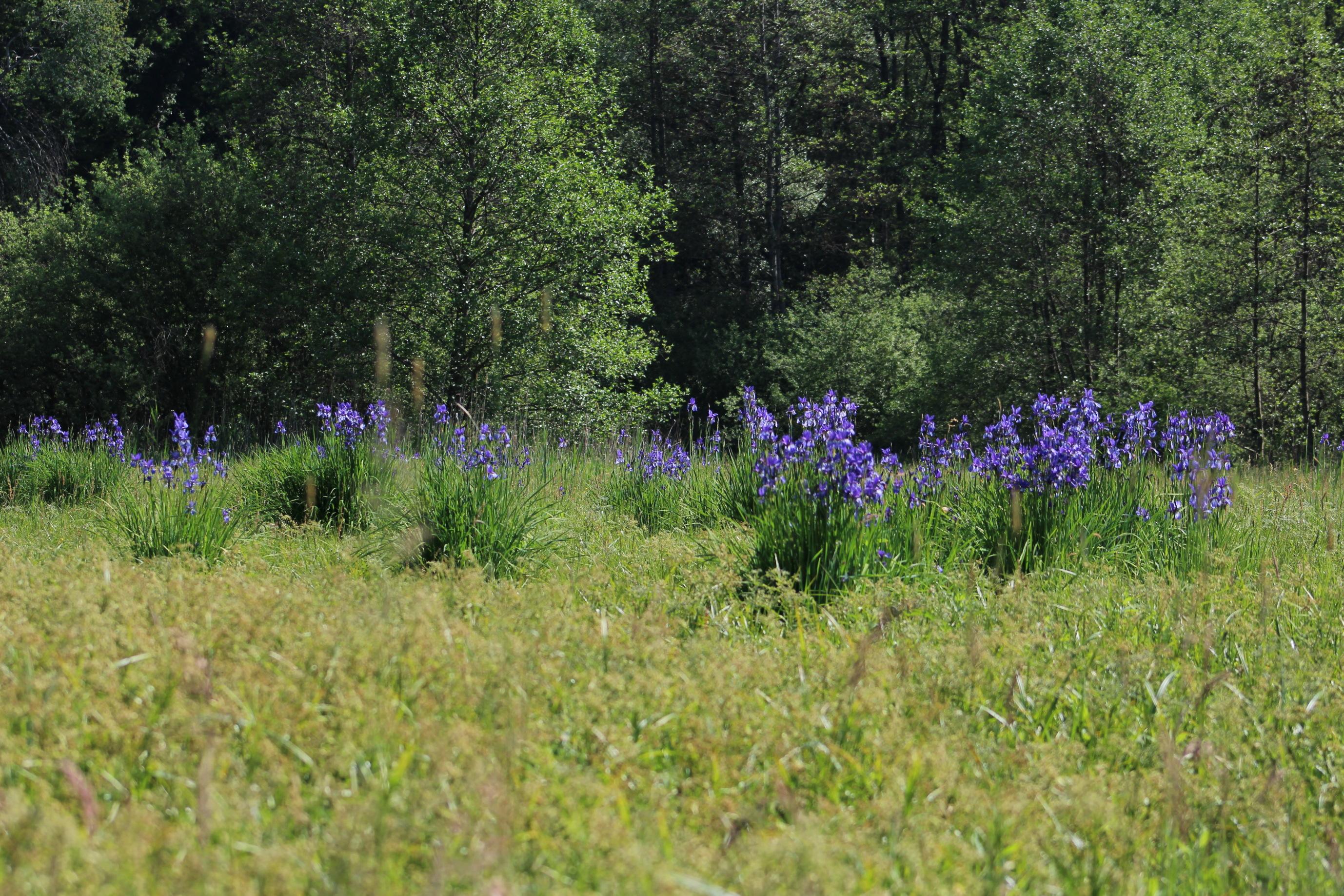 Naturschutzgebiet Wasenlöcher bei Illerberg Iris sibirica LBV Neu-Ulm