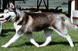 Красивый баланс с распрямление в обоих концах. Заметьте кончик передней лапы расположен непосредственно под носом. Собака, шея которой не простирается, не может показать полную длину большого шага.