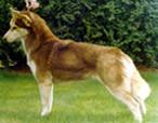Углы задних конечностей больше, чем передних. Эта собака недостаточно сбалансирована.
