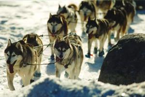 Эта команда хаски тянула на контрольном пункте Eagle River в гонке Iditarod '97. Все хвосты опущены..