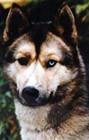 """""""Грязное лицо"""" является типичным для многих собак гоночных линии. Это также правильно."""