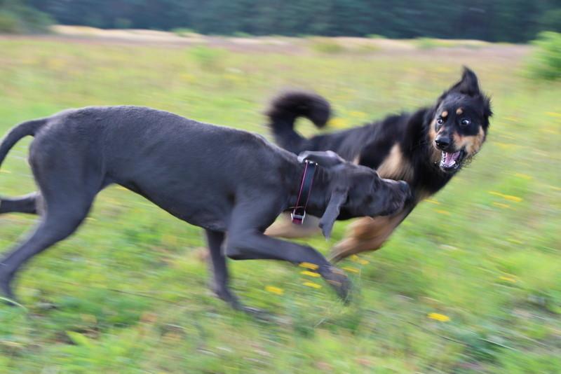 Lotta, die werdende Dogge