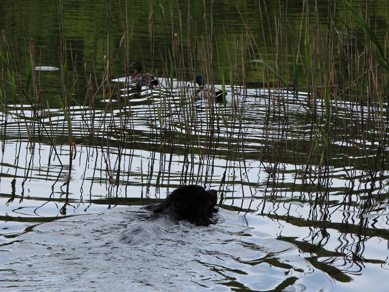 Schwimmend Enten jagen