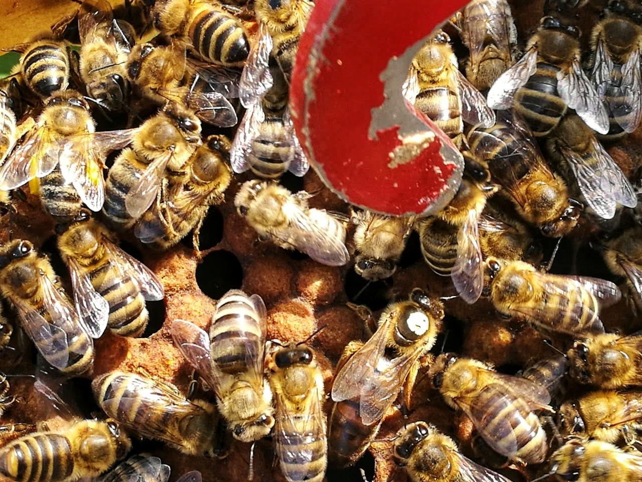 Halten Honigbienen Winterschlaf?