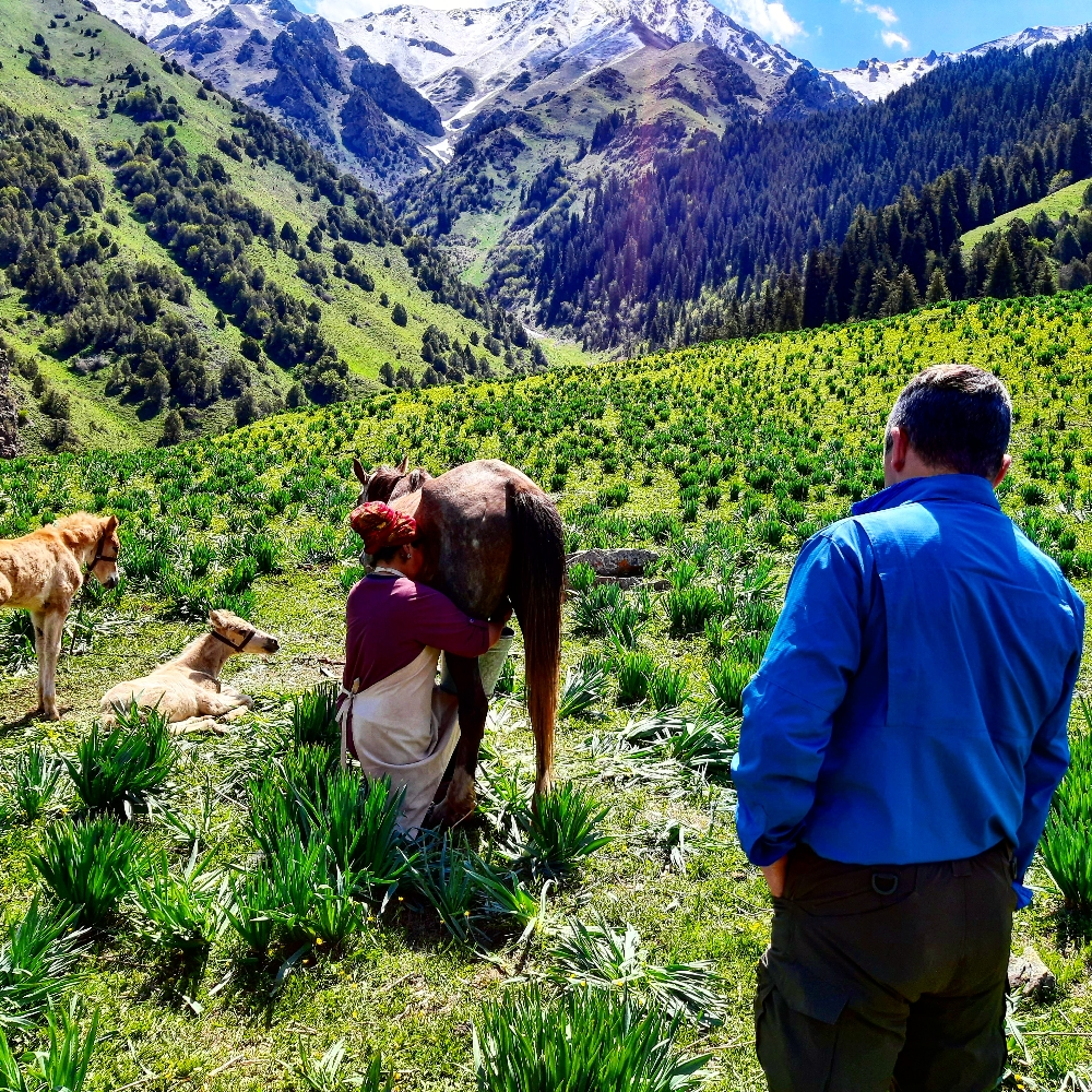 Learning Kyrgyz Nomad culture .Milking a mare