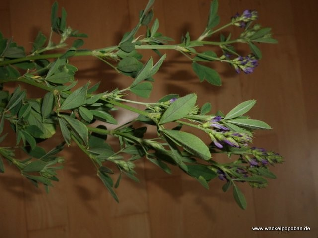 Luzerne mit Blüten
