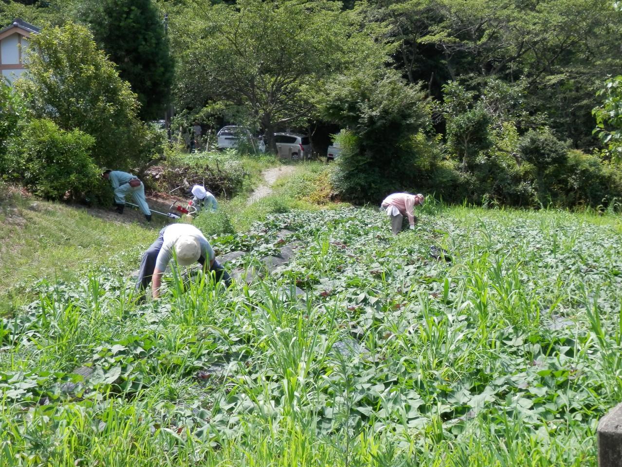 イモ畑の雑草を丹念に引き抜きました