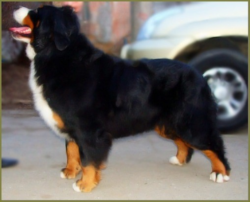 Бернский зенненхунд  Bernese Mountain Dog ,Бернский зенненхунд , зенненхунд, Бернская овчарка , щенки , продажа