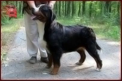 Бернский зенненхунд  Bernese Mountain Dog, Бернский зенненхунд , зенненхунд, Бернская овчарка , щенки , продажа
