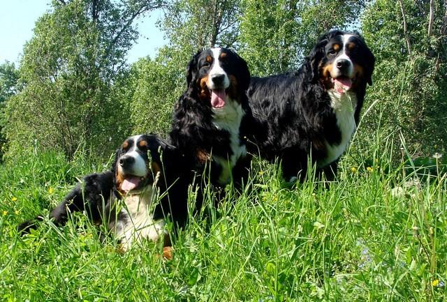 Бернский зенненхунд , зенненхунд, Бернская овчарка , щенки , продажа