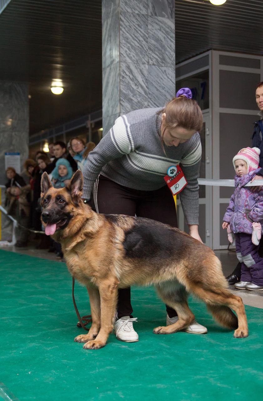 номинация Чемпионы России - немецкая овчарка ORLANNA BEIS
