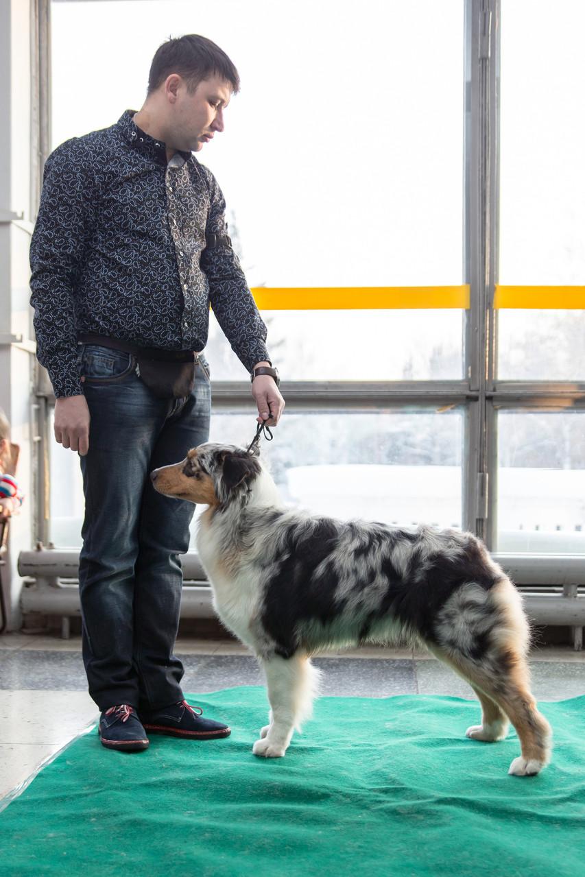 номинация Будущие Чемпионы России - австралийская овчарка APRIORI RHYTHM OF LIFE