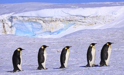 5羽のペンギン