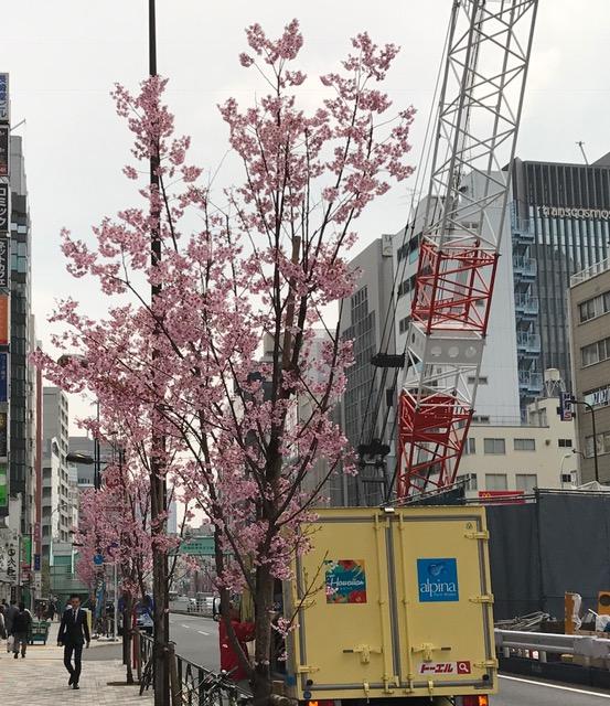 ☆街路樹が桜。花の種類は何でしょうか?渋谷はまだまだ工事中。いつ終わることやら。