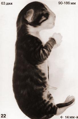 Эмбрион кошки 63 дня