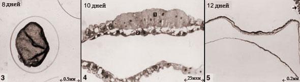 Эмбрион кошки 8, 10 и 12 дней