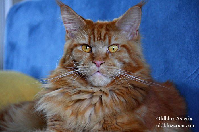 Олдблюз Астерикс - кот кастрат