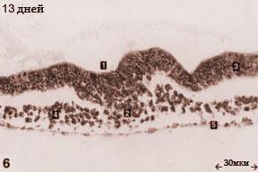 Эмбрион кошки 13 дней