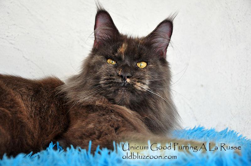 Unicum Good Purring A La Russe кошка мейн-кун голубокремовая дымная черепаха с белым MCO gs 09