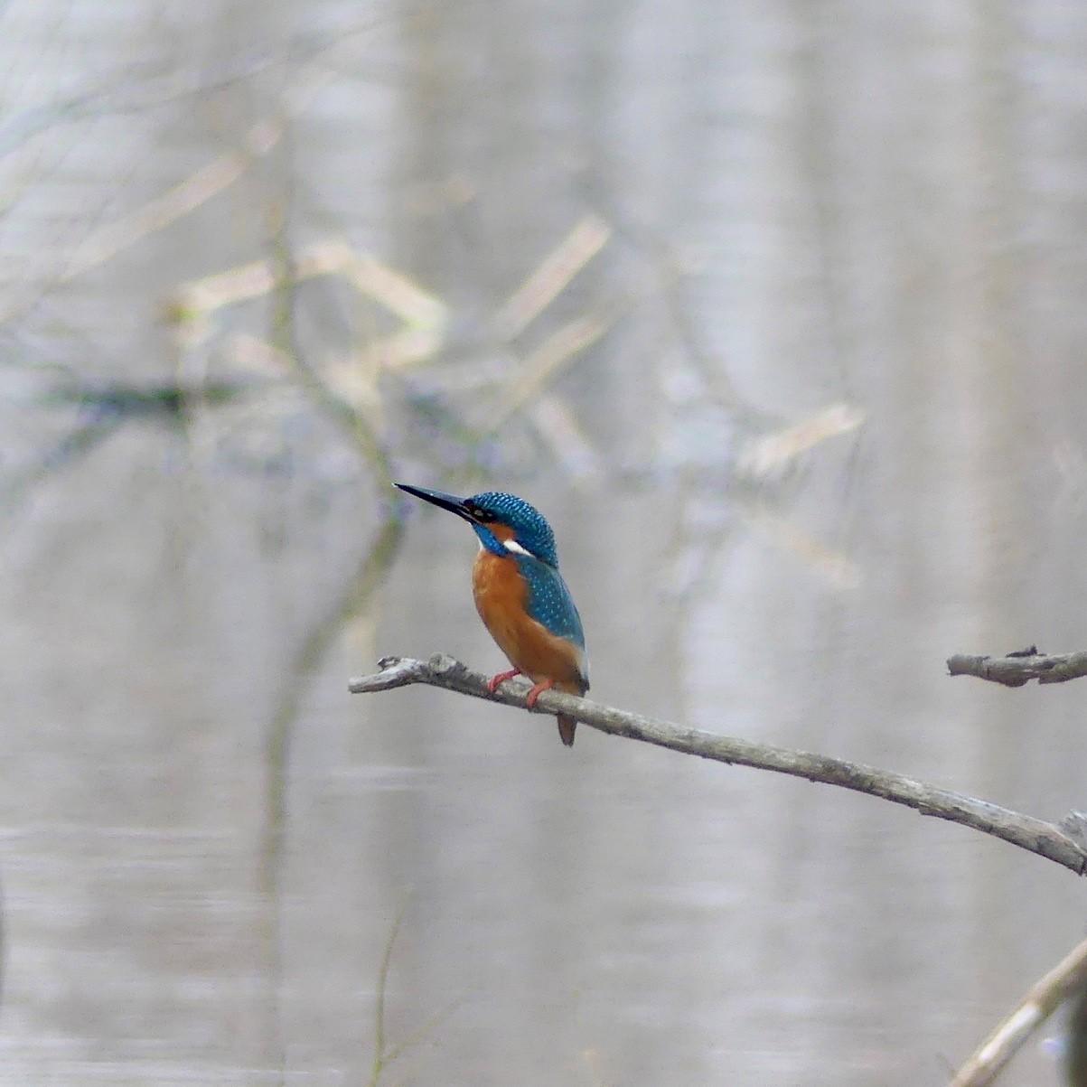 Eisvogel, Seeveniederung - Foto: Elvira Lütt