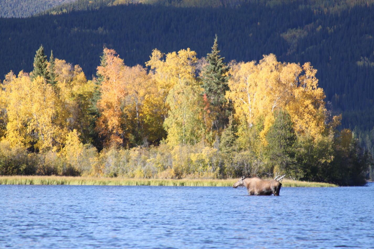 Die ersten Elche im Big Salmon Lake