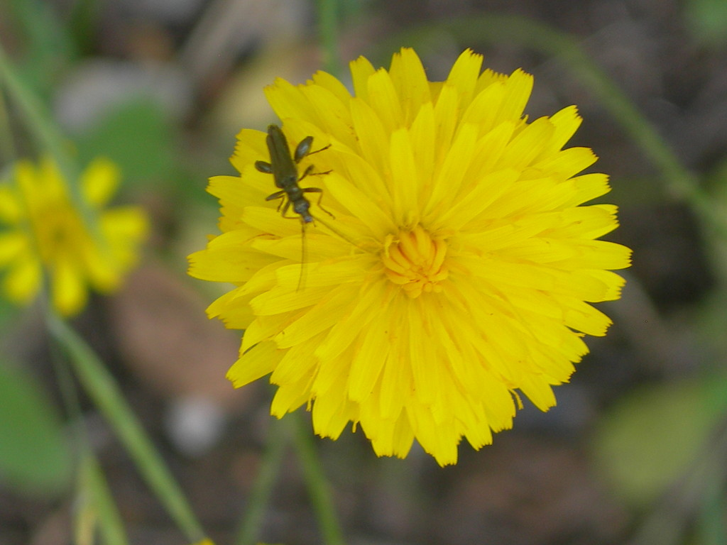 fiore di sonchus oleraceus